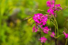 Abeja que recoge la miel en una flor rosada Copie el espacio Adultos jovenes Abejorro en un flor rosado Foto de archivo libre de regalías