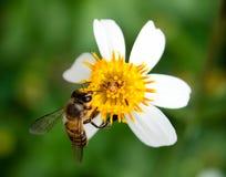Abeja que recoge la miel en una pequeña flor amarilla Foto de archivo