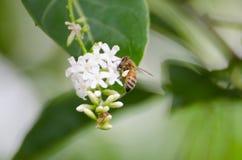 Abeja que recoge las flores de la miel Fotografía de archivo libre de regalías