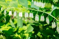Abeja que recoge multiflorum del Polygonatum del néctar Fotos de archivo
