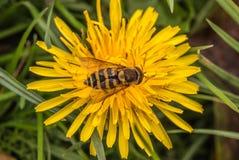 Abeja que recoge a Nectar From Yellow Dandelion Flower Fotos de archivo libres de regalías