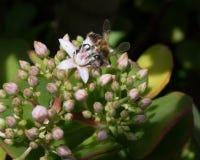 Abeja que recoge Pollent de Jade Plant Imagenes de archivo