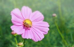 Abeja que recoge un néctar del polen de la flor del cosmos Foto de archivo