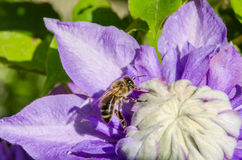 Abeja que recolecta el néctar Imagen de archivo libre de regalías