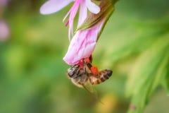 Abeja que recolecta el néctar de la flor Imágenes de archivo libres de regalías