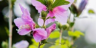 Abeja que recolecta el néctar de la flor Imagenes de archivo