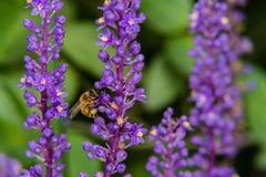 Abeja que recolecta el néctar de la flor Fotos de archivo libres de regalías