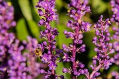 Abeja que recolecta el néctar de la flor Foto de archivo