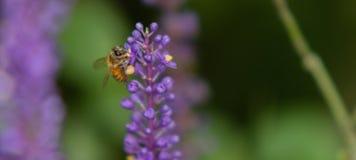 Abeja que recolecta el néctar de la flor Fotos de archivo