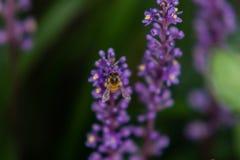 Abeja que recolecta el néctar de la flor Fotografía de archivo libre de regalías