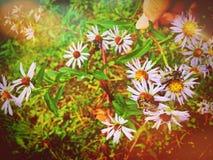Abeja que recolecta el néctar de las flores del tataricus del aster Imagen de archivo
