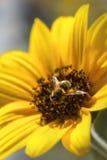 Abeja que recolecta el néctar de un girasol Imagen de archivo