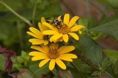 Abeja que recolecta el néctar de un girasol amarillo del ojo del buey Fotografía de archivo libre de regalías