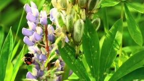 Abeja que recolecta el néctar de una flor Fotografía de archivo libre de regalías