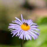 Abeja que recolecta el néctar en la manzanilla Fotos de archivo libres de regalías