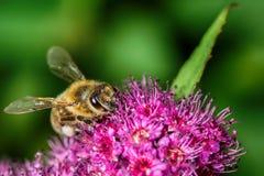Abeja que recolecta el néctar en naturaleza Foto de archivo