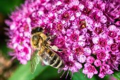 Abeja que recolecta el néctar en naturaleza Fotografía de archivo