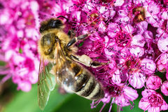 Abeja que recolecta el néctar en naturaleza Fotografía de archivo libre de regalías
