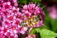 Abeja que recolecta el néctar en naturaleza Fotos de archivo libres de regalías