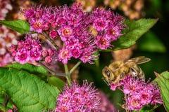Abeja que recolecta el néctar en naturaleza Imagen de archivo libre de regalías