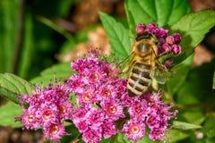 Abeja que recolecta el néctar en naturaleza Fotos de archivo