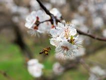Abeja que recolecta el néctar en un jardín Imágenes de archivo libres de regalías