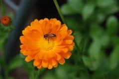 Abeja que recolecta el néctar en una flor del calendula Foto de archivo
