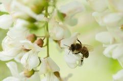 Abeja que recolecta el néctar en una flor del robinia Imagen de archivo libre de regalías