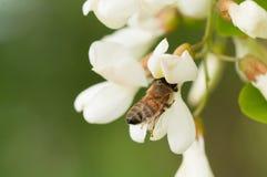 Abeja que recolecta el néctar en una flor del robinia Fotografía de archivo libre de regalías