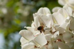Abeja que recolecta el néctar en una flor del robinia Imagen de archivo