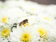 Abeja que recolecta el néctar mientras que poliniza una pila de las flores blancas w Imagen de archivo libre de regalías