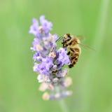 Abeja que recolecta el néctar y el polen Fotografía de archivo libre de regalías