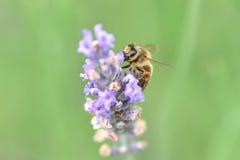 Abeja que recolecta el néctar y el polen Fotos de archivo