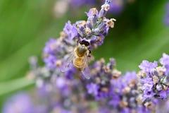 Abeja que recolecta el néctar y el polen Imagen de archivo