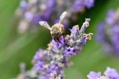 Abeja que recolecta el néctar y el polen Foto de archivo libre de regalías
