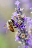 Abeja que recolecta el néctar y el polen Foto de archivo
