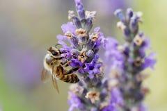 Abeja que recolecta el néctar y el polen Fotografía de archivo