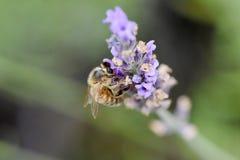 Abeja que recolecta el néctar y el polen Fotos de archivo libres de regalías