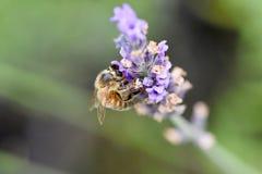 Abeja que recolecta el néctar y el polen Imagen de archivo libre de regalías