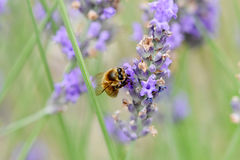 Abeja que recolecta el néctar y el polen Imagenes de archivo