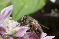 Abeja que recolecta el néctar y que separa el polen en la flor púrpura Imagen de archivo libre de regalías