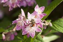 Abeja que recolecta el néctar y que separa el polen en la flor púrpura Fotografía de archivo