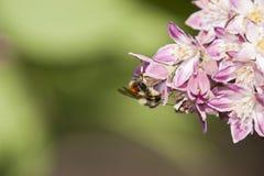 Abeja que recolecta el néctar y que separa el polen en la flor púrpura Fotos de archivo