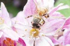Abeja que recolecta el néctar y que separa el polen en la flor púrpura Imagen de archivo