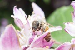 Abeja que recolecta el néctar y que separa el polen en la flor púrpura Imágenes de archivo libres de regalías