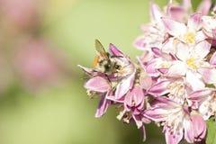 Abeja que recolecta el néctar y que separa el polen en la flor púrpura Imagenes de archivo