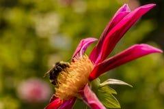 Abeja que recolecta el polen Fotografía de archivo libre de regalías