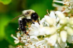 Abeja que recolecta el polen Imagen de archivo libre de regalías