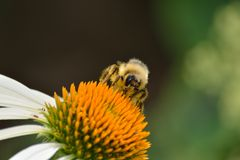 Abeja que recolecta el polen Imagenes de archivo