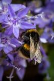 Abeja que recolecta el polen Fotos de archivo libres de regalías